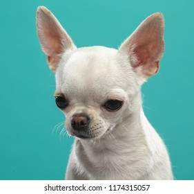 Chihuahua Dog  Isolated  on Black Background in studio
