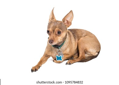 Chihuahua dog laying down isolated against a white background