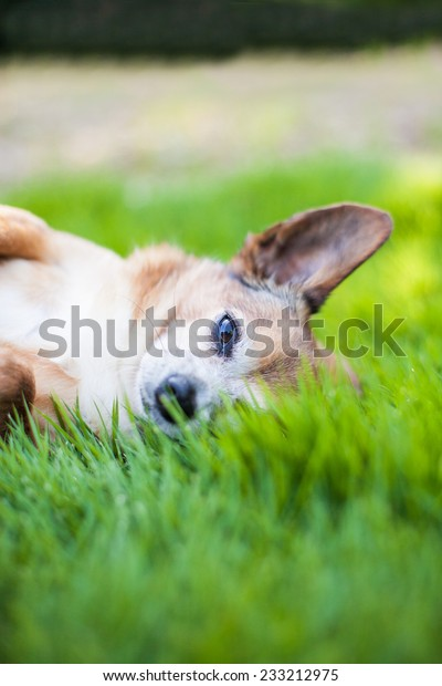 Chihuahua dog lays in the grass