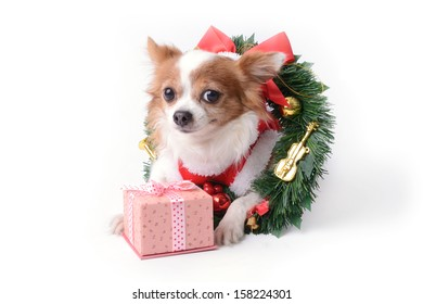 Chihuahua dog and a little gift box on Christmas seasonal.
