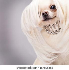 chihuahua dog with long hair and collar close up
