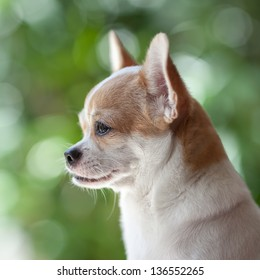 Chihuahua dog looking  something against green out focus background