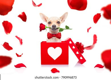 chihuahua dog in love for happy valentines day with  rose flower in  mouth , isaolated on white background petals flying around in air