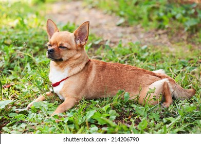 Chihuahua dog lying on background of green grass with eyes closed.
