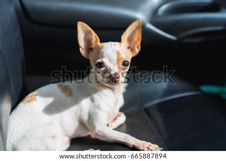 Chihuahua Dog Lying On A Car Seat