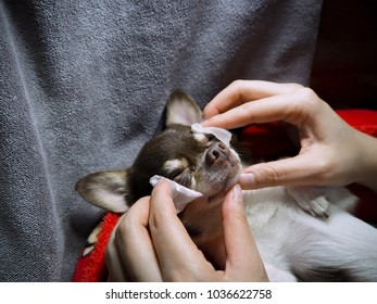Chihuahua dog lying on his red colour bed and the owner using aroma oil whip to massage and relaxing his dog, while the dog look comfortable with this treatment
