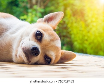 Chihuahua dog napping on nature background.
