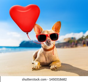 chihuahua dog at the ocean shore beach wearing red funny sunglasses in love with heart balloon for birthday or valentines day