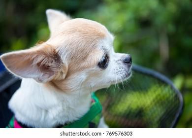 chihuahua dog on basket
