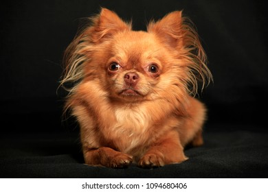 Chihuahua dog on a black background