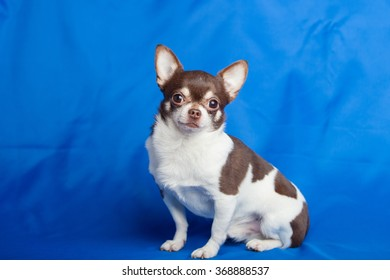Chihuahua dog on a blue background of cloth