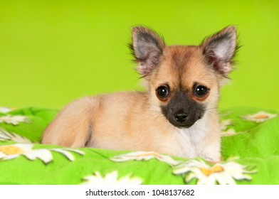 Chihuahua dog on green backgroud