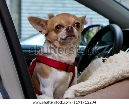 Chihuahua Dog On The Passenger Seat Of A Car