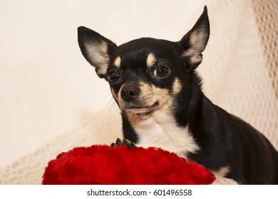 Chihuahua dog on a red pillow