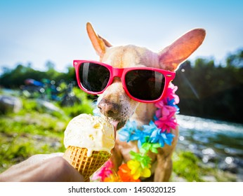 chihuahua  dog on   summer vacation holidays in the city and the beach and river   eating and licking   vanilla ice cream in cone waffle