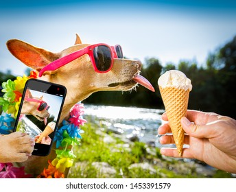 chihuahua  dog on   summer vacation holidays in the city and the beach and river   eating and licking   vanilla ice cream in cone waffle, taking a selfie with smartphone cellular telephone