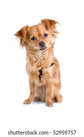 chihuahua dog on a white background