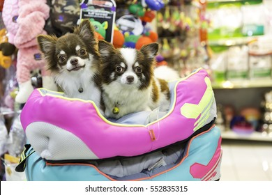 Chihuahua dog in pet store