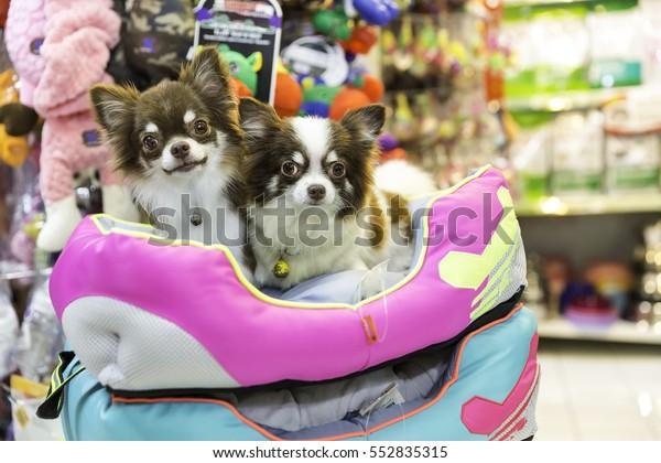 Chihuahua cane nel negozio di animali