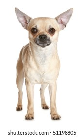 Chihuahua dog puppy on white background