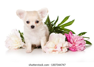 Chihuahua dog puppy and peony flowers (isolated on white)