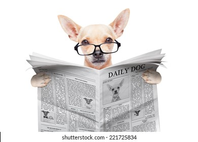 chihuahua dog reading the news on a magazine or newspaper , isolated on white background