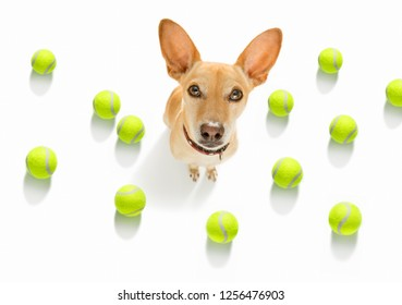 chihuahua dog ready to play and have fun with owner and tennis ball toy , isolated on white background