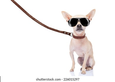 chihuahua dog ready for a walk with owner , with leather leash and cool sunglas ses, isolated on white background
