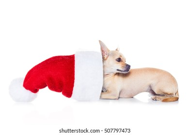 chihuahua  dog with red  christmas santa claus hat  for xmas holidays