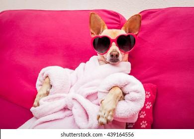 chihuahua chien se reposant et allongé dans   spa centre de bien-être, peignoir et jolies lunettes de soleil