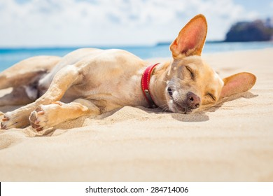 chihuahua dog  relaxing and resting , lying on the sand at the beach on summer vacation holidays, ocean shore behind