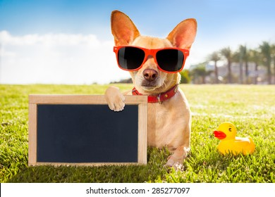 chihuahua dog  relaxing and resting , lying on grass or meadow at city park on summer vacation holidays, holding a blank  empty placard and blackboard, yellow rubber duck as best friend