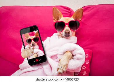 chihuahua dog relaxing at spa wellness center   wearing a  bathrobe and funny sunglasses taking a selfie