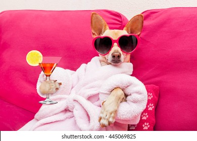 chihuahua dog relaxing at spa wellness center wearing a  bathrobe and funny sunglasses, drinking a martini cocktail
