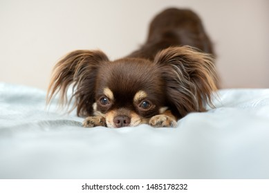 chihuahua dog resting on a bed