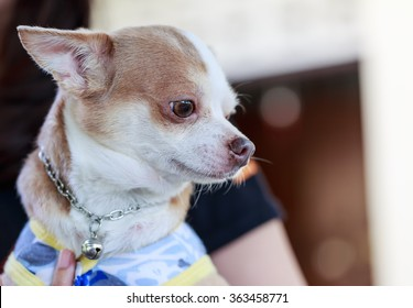 chihuahua dog sad