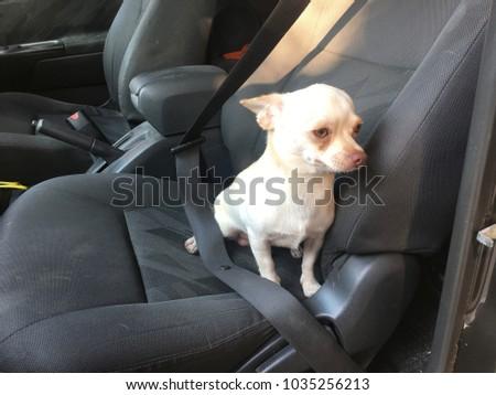 Chihuahua Dog Sit In The Car Seat Cute Black