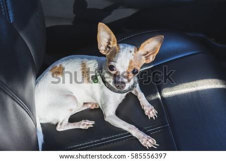 A Chihuahua Dog Sitting In Car Seat