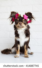chihuahua dog sitting in a flower crown