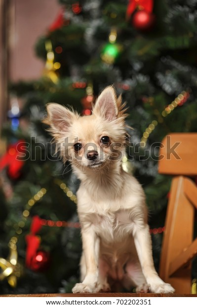 Chihuahua dog sitting in front of the Christmas tree.