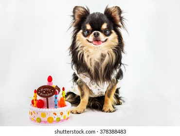 Chihuahua dog sitting on a white background with cake on the side.
