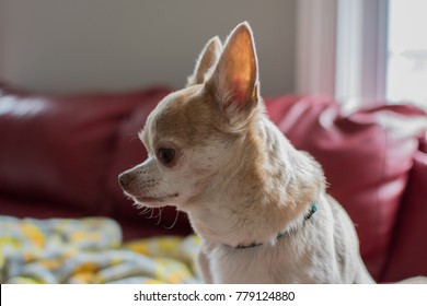 Chihuahua dog sitting in sunlight posing