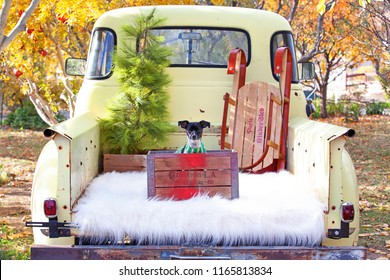 Chihuahua Dog Sitting in a Vintage Pickup Truck at Christmas