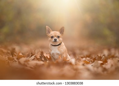 Chihuahua dog sittng in a autumn forest lane with sumbeams