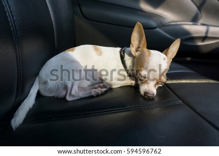 Chihuahua Dog Sleeping In A Car Seat