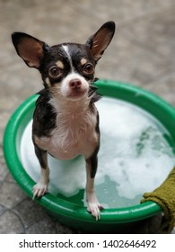 Chihuahua dog stand in a bathtub in summer hot shiny day,non chemical shampoo suitable for dog.Healthy pets and How to bath and take care a pets at home concept.