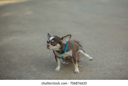Chihuahua dog stands on the mortar floor, hurting and biting his butt as if going to a stool pain.