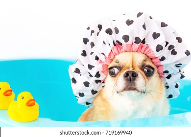Chihuahua dog taking a shower with duck toys in blue bucket.wearing a bathing cap