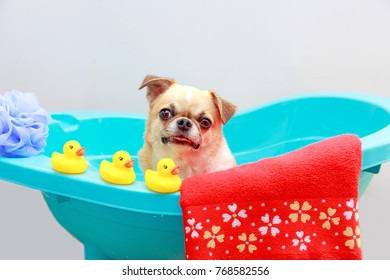 Chihuahua dog taking a shower with duck toys and red towel in blue bucket.