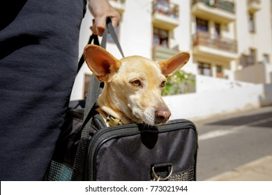 chihuahua  dog in transport bag or box ready to travel as pet in cabin in plane or airplane